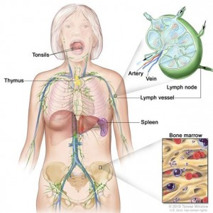 Illustration of the lymph system