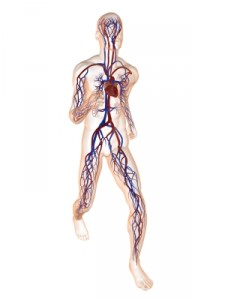 Illustration of the body's circulatory system - compression stockings can help boost blood circulation